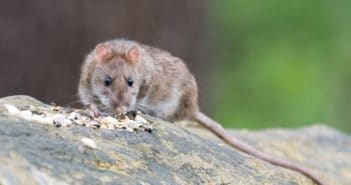 rats maison deratisation