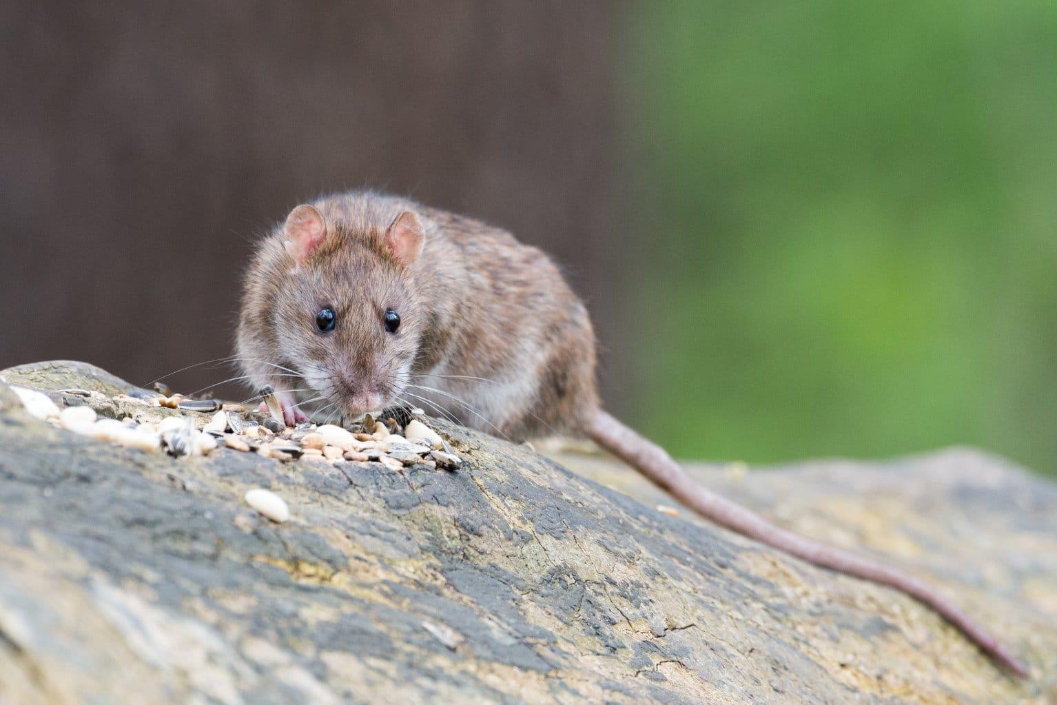 les signes de pr sence d un rat dans la maison blog decoration maison. Black Bedroom Furniture Sets. Home Design Ideas