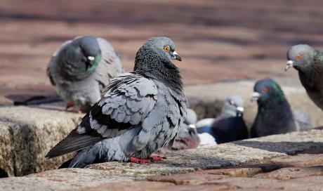 pigeon marseille